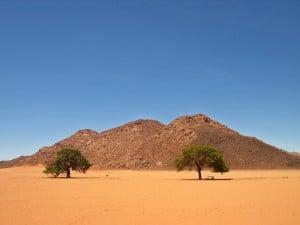 wüstenbäume